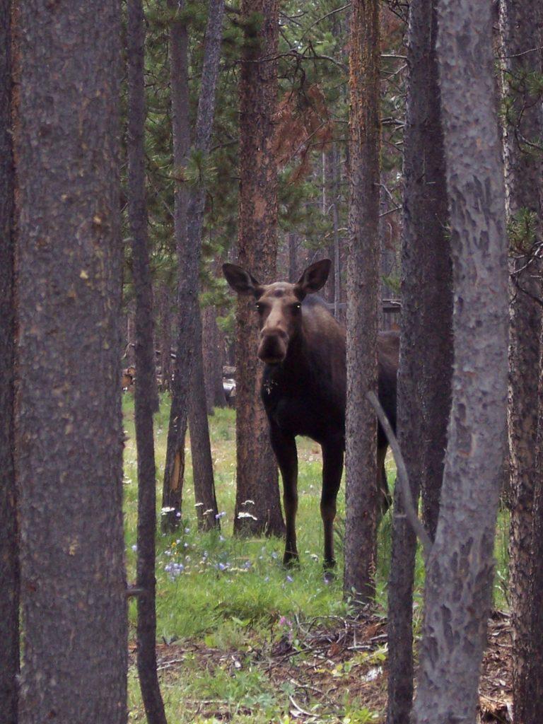 Moose09